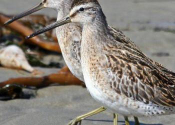 danni del petrolio sugli uccelli