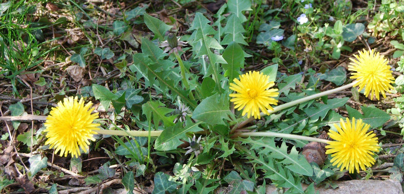 piante selvatiche commestibili , Tarassaco