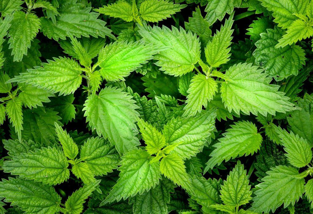 piante selvatiche commestibili ortica (foto: https://pixabay.com)