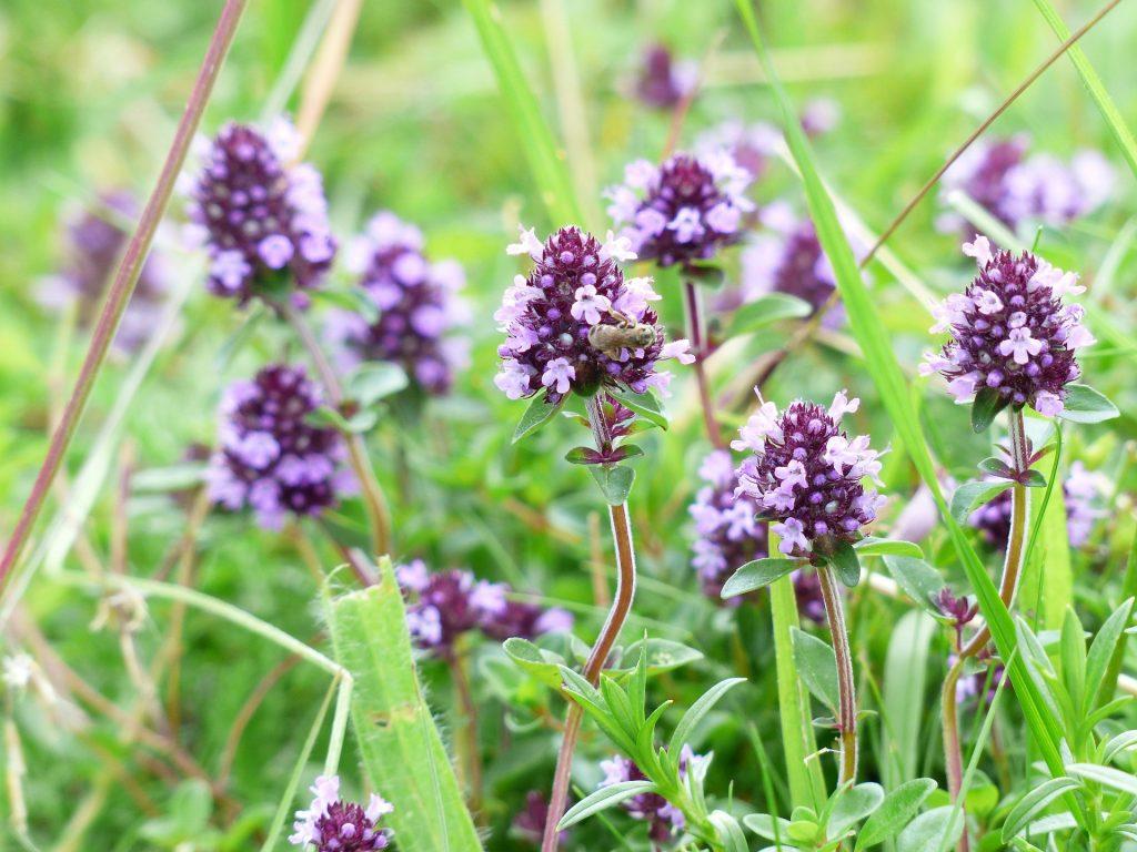 piante selvatiche commestibili: timo selvatico (foto: https://pixabay.com)
