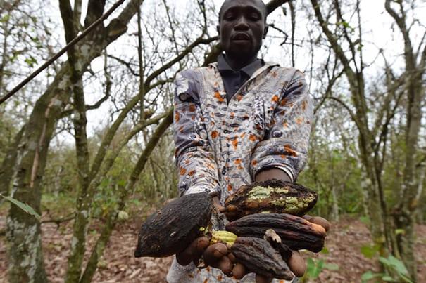 Estinzioni agricole, cacao in Costa d'Avorio (foto: www.theguardian.com)