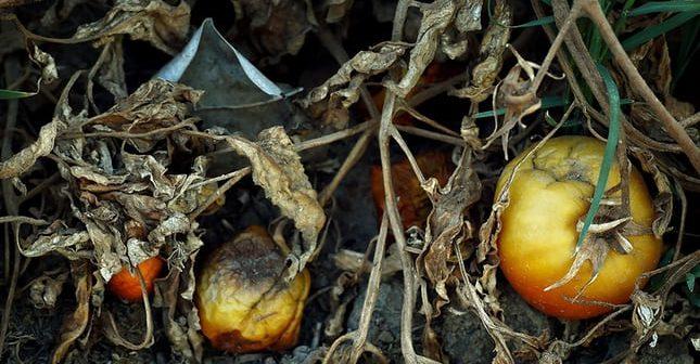 estinzioni agricole: pomodori e siccità in California(foto: www.theguardian.com)
