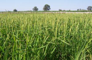 Coltivazioni di riso sostenibili: dalla Cina una scoperta che potrebbe cambiare le carte in tavola