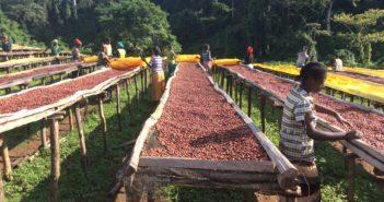 Lato oscuro del cioccolato: cacao (foto: http://www.espa.ac.uk/projects/ne-k010379-1)