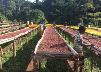 Coltivazione del Cacao