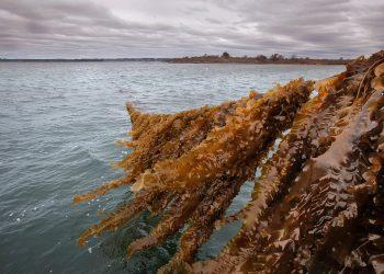 Alghe e alimentazione sostenibile: cosa sta succedendo nel Maine