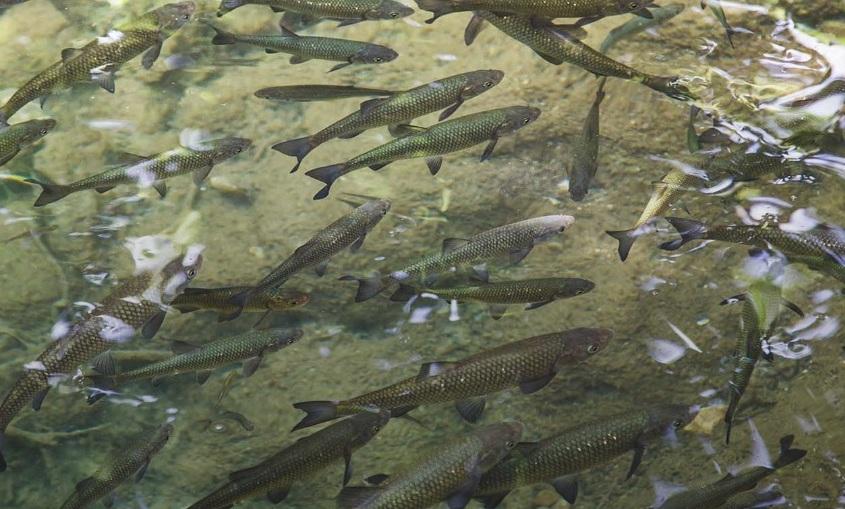 pesci di allevamento