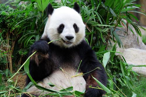panda gigante non è pigo