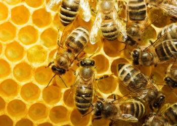 le api on honeycells