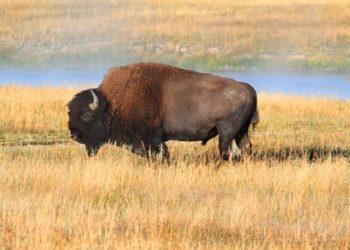 il bisonte americano