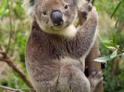 Koala seduto su albero