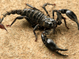 scorpione tropicale