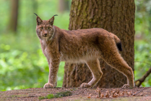 Lince Appenninica