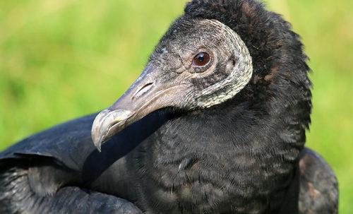 L'avvoltoio