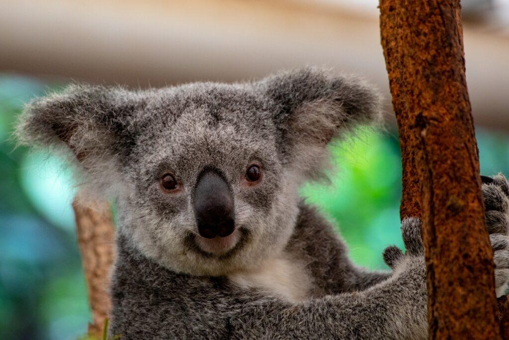 Koala: popolazione giù del 30% in 3 anni